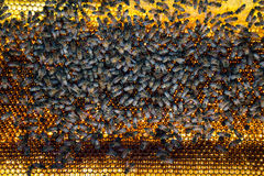 Bee comb honey Royalty Free Stock Photo