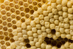 Bee combs with bee eggs and young bees - drones. Macro photo royalty free stock image