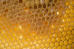 Bee combs with bee eggs and young bees - drones. Macro photo royalty free stock photography