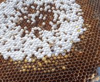 Free Bee Combs With Bee Eggs Close Up Royalty Free Stock Photography - 121768737