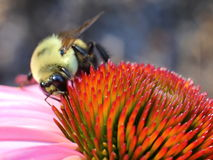 Bee on the cone flower. Bumble bee looking for pollens in the cone flower with orange base Stock Photo