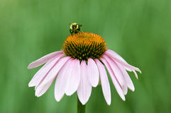 Bee on a coneflower Royalty Free Stock Image