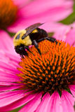 Bee on Coneflower 4674. Bee pollinating coneflower in meadow garden at Morton Arboretum, Lisle, Illinois; Echinacea purpurea Stock Images