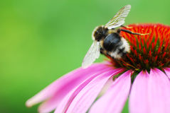 Bee on coneflower. A little bee on coneflower Royalty Free Stock Photos