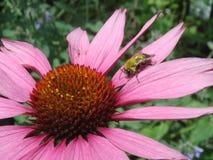 Bee on Coneflower Stock Photography