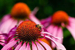 Bee on a coneflower Stock Photo
