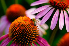 Bee and coneflower Stock Image