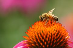 Bee on a coneflower stock image