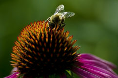 Bee on the coneflower Royalty Free Stock Images
