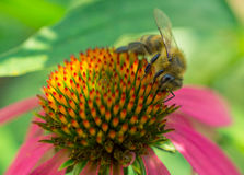 Bee on coneflower. Bee on echinacea with pink petals. side view Royalty Free Stock Image