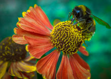 Bee on coneflower Stock Photos