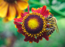 Bee on coneflower Royalty Free Stock Photography