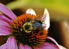 Bee on a Coneflower. Bee on a Purple pink coneflower in full bloom Royalty Free Stock Photo