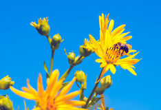 Bee on coneflower. A solitary bee visits a yellow cutleaf coneflower Stock Image