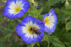 Bee on Convolvulus tricolor Royalty Free Stock Images