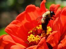 Bee in coral zinnia Stock Photos