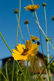 Bee on coreopsis flower. With country house on background Royalty Free Stock Photography