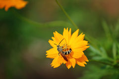 Bee on Coreopsis grandiflora 'Sunburst'. Honey bee on yellow flower collecting pollen s in the Arboretum and Botanic gardens in Houston, Texas Stock Photography