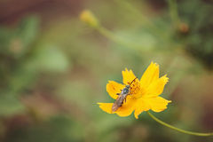 Bee on coreopsis. Honey bee on yellow flower collecting pollen s in the Arboretum Stock Images