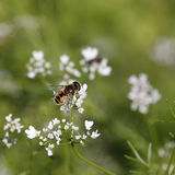 Bee on coriander flowers. Royalty Free Stock Photo