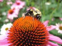 Bee on a corn flower. A bumble bee on a pink and orange corn flower Royalty Free Stock Images
