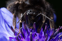 Bee on a Cornflower Royalty Free Stock Photos