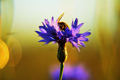 A bee and a cornflower. A bee is looking for some nectar royalty free stock photography