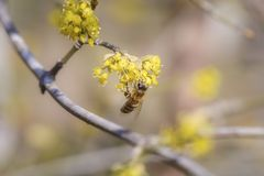 Bee on cornus mas. Single bee collect pollen from cornus mas flowers Royalty Free Stock Images