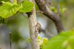 Bee on cornus mas. Single bee collect pollen from cornus mas flowers Stock Photo