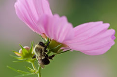 Bee on Cosmos Stock Image