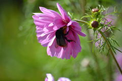 Bee on Cosmos 3. Bumble Bee collecting nectar from pink Cosmos flower Stock Photo