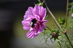 Bee on Cosmos 1. Bumble Bee collecting nectar from pink cosmos flower Royalty Free Stock Photography