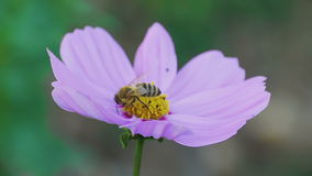 Bee on cosmos flower. Bees store honey dew from cosmos flower stock video footage