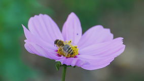 Bee on cosmos flower. Bees store honey dew from cosmos flower stock video