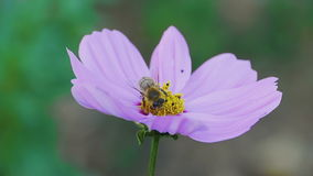 Bee on cosmos flower. Bees store honey dew from cosmos flower stock footage