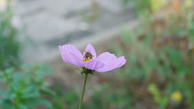 Bee on cosmos flower. A bee is collecting some nectar and pollen of the cosmos flower, slow motion stock footage