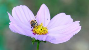 Bee on a cosmos flower. Bee collects nectar on a pink cosmos flower stock video