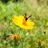 Bee and Cosmos Flower Royalty Free Stock Image