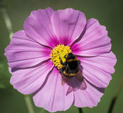 Bee on Cosmos Flower Stock Photo