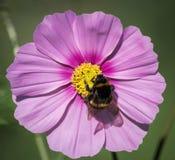 Bee on Cosmos Flower Stock Photo