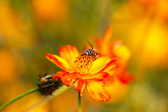 Bee on the cosmos. Honey bee collecting nectar in the cosmos stock photography