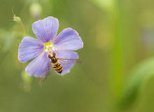 The bee and the cosmos Stock Photos