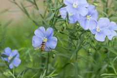 The bee and the cosmos Stock Images