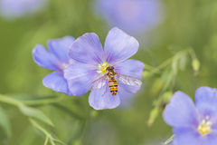 The bee and the cosmos Royalty Free Stock Images