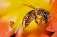 Bee cover by pollen. Bee covered by yellow pollen of the flower Stock Image