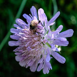 Bee covered in pollen on flower Royalty Free Stock Images