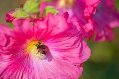 Bee covered with pollen from fuchsia flower. Beautiful close-up of a bee covered with pollen from a colorful flower with morning dew on the petals taken with stock photos