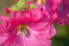 Bee covered with pollen from fuchsia flower. Beautiful close-up of a bee covered with pollen from a colorful flower with morning dew on the petals taken with stock image