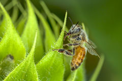 Bee covered in pollen on green leaf. Royalty Free Stock Image