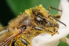 Bee Covered in Pollen. Honey Bee Covered in Yellow Pollen Stock Images